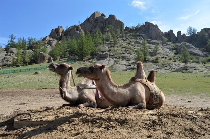 Mongolia-camels